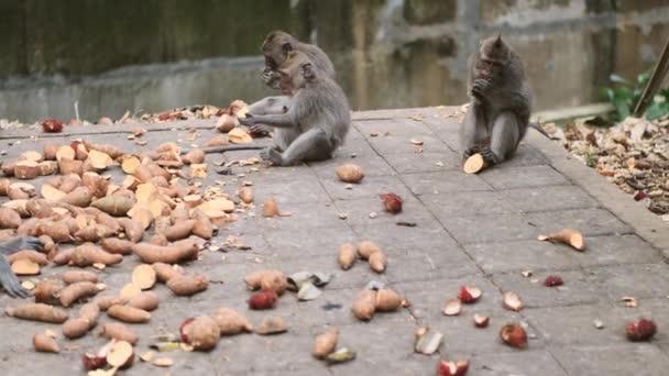 Beautiful wild monkey family eating fruits in tropical monkey forest. Bali island