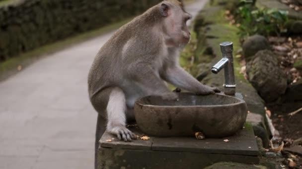 Krásná žíznivá divoká opice se snaží otevřít kohoutek fontány v tropickém parku