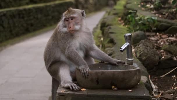 Thirsty wild monkey sitting near drinking fountain in tropical monkey forest. Bali island