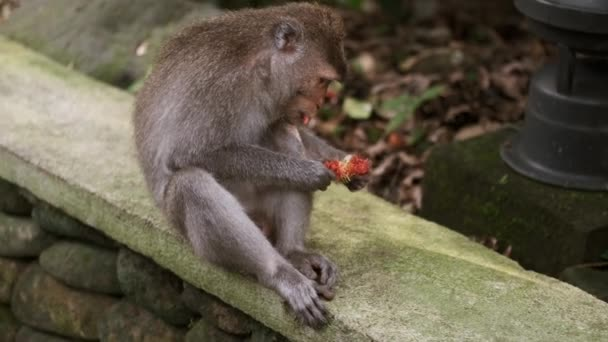 Tracking shot of beautiful wild monkey eating tropical fruits outdoor in tropical monkey forest. Bali island