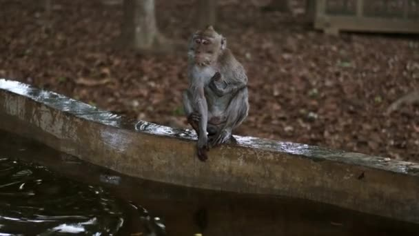 Imádnivaló vadmajmok üldögélnek a tó közelében a trópusi majomerdőben. Bali sziget