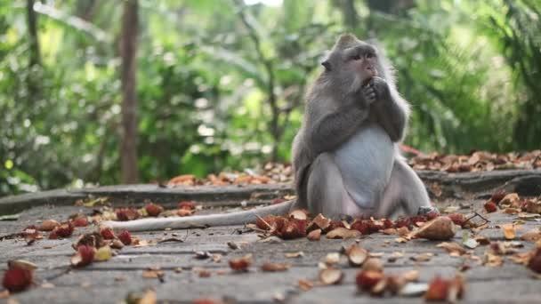 Közepes adag imádnivaló vadmajom trópusi gyümölcsöt eszik a dzsungel majom erdőben. Bali sziget