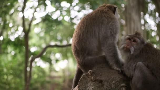 Gyönyörű majmok pihennek a fán a dzsungelben. Vadmajom család. Vadon élő pár