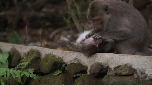 Mother monkey caring about her cute baby outdoor. Wild monkey family