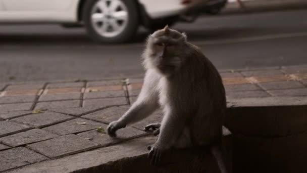 Beautiful little monkey sitting on sidewalk on busy city street. Wildlife and civilization