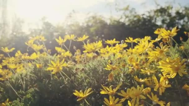 Tracking sun flare shot of beautiful yellow flowers at spring in city park