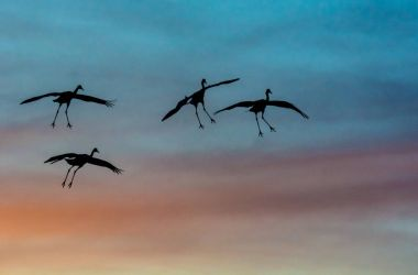 Sandhill cranes silhouetted