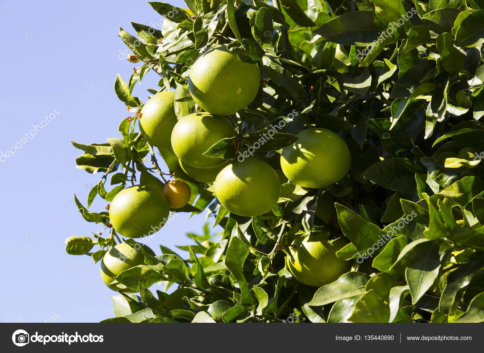 フルーツとオレンジの木が熟す —...