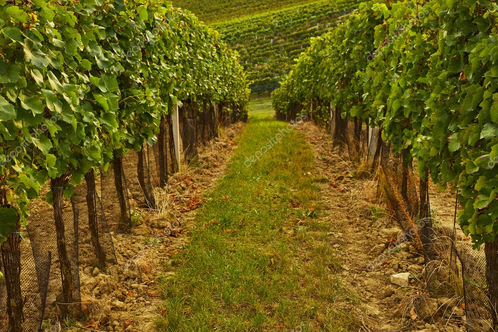 Rows of vineyard with sunshine