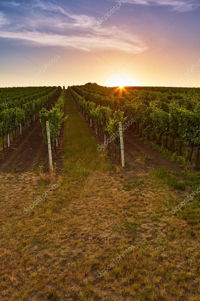 Vineyard at sunrise with lens flare