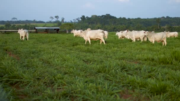 Cows walking on farm pasture