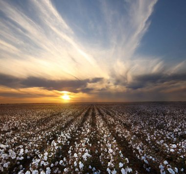 cotton field in sunset time