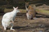 Fotografia Famiglia mista wallaby