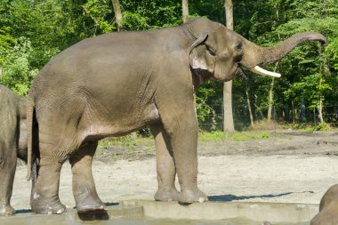 Asian elephant Elephas maximus is walking in a forest enclosure