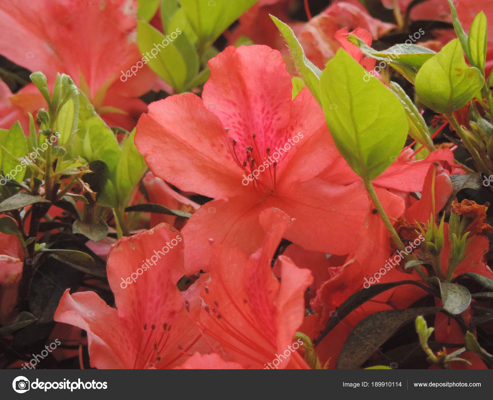 Salmon colored flowers — Stock Photo © luisrftc #189910114