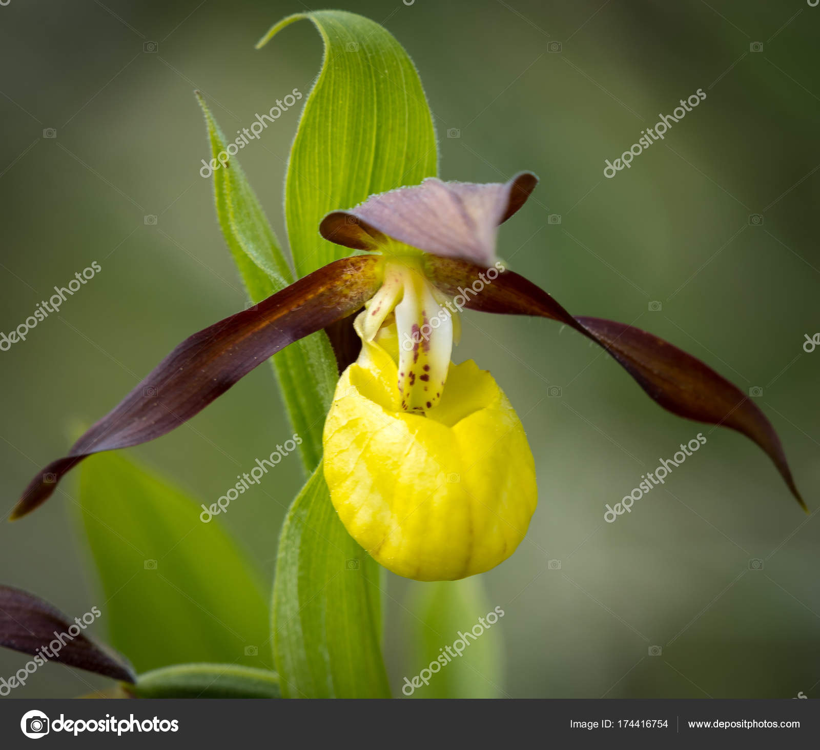 Closeup Of A Ladys Slipper Orchid In Springtime Stock Photo