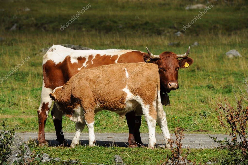 A brown calf suckling from a cow