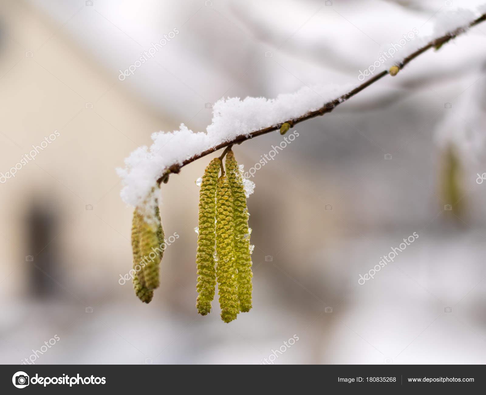 Цветки орешника фото