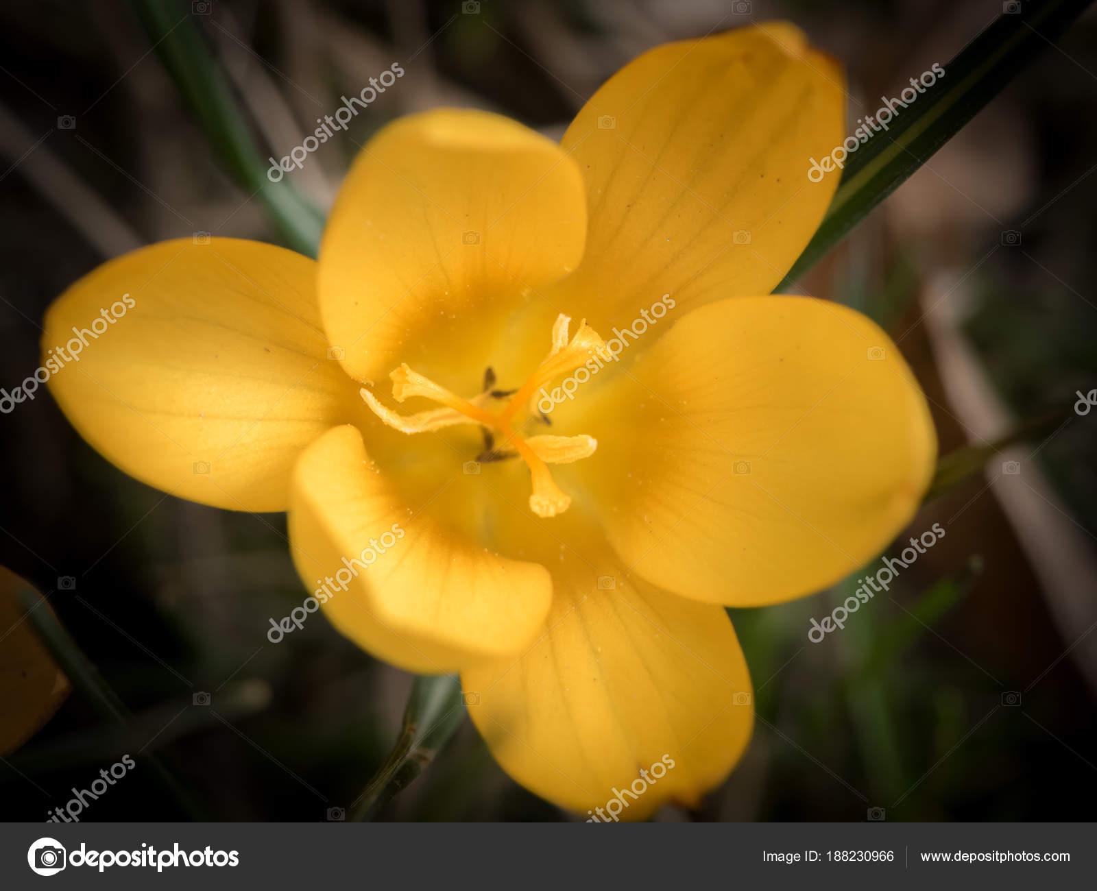 Primer plano de una flor de azafrán amarillo en el jardín — Foto de Stock