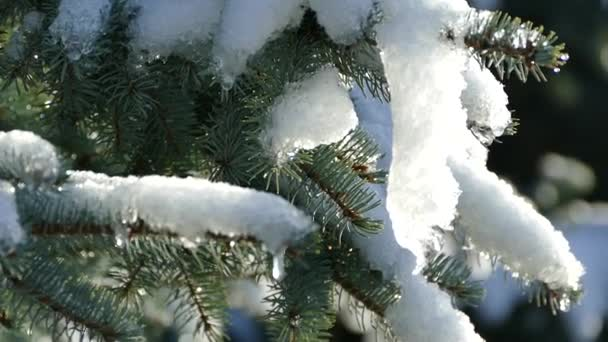 Weihnachtsbaum Fällen.Schmelzender Schnee Auf Dem Weihnachtsbaum Tauwetter Im Winter Tropfen Wasser Fallen Aus Der Ast