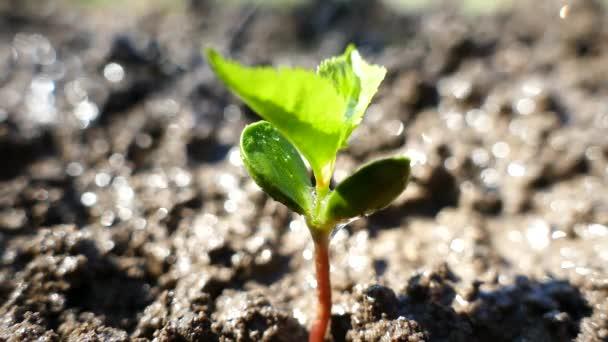 Mladý strom z kostí klíčí. Zavlažování a zalévání klíček. Klíčící zelených rostlin se táhne nahoru.