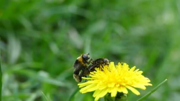 Důstojník hmyz na žlutou květinu. Mouchy se množí. Divoké včely