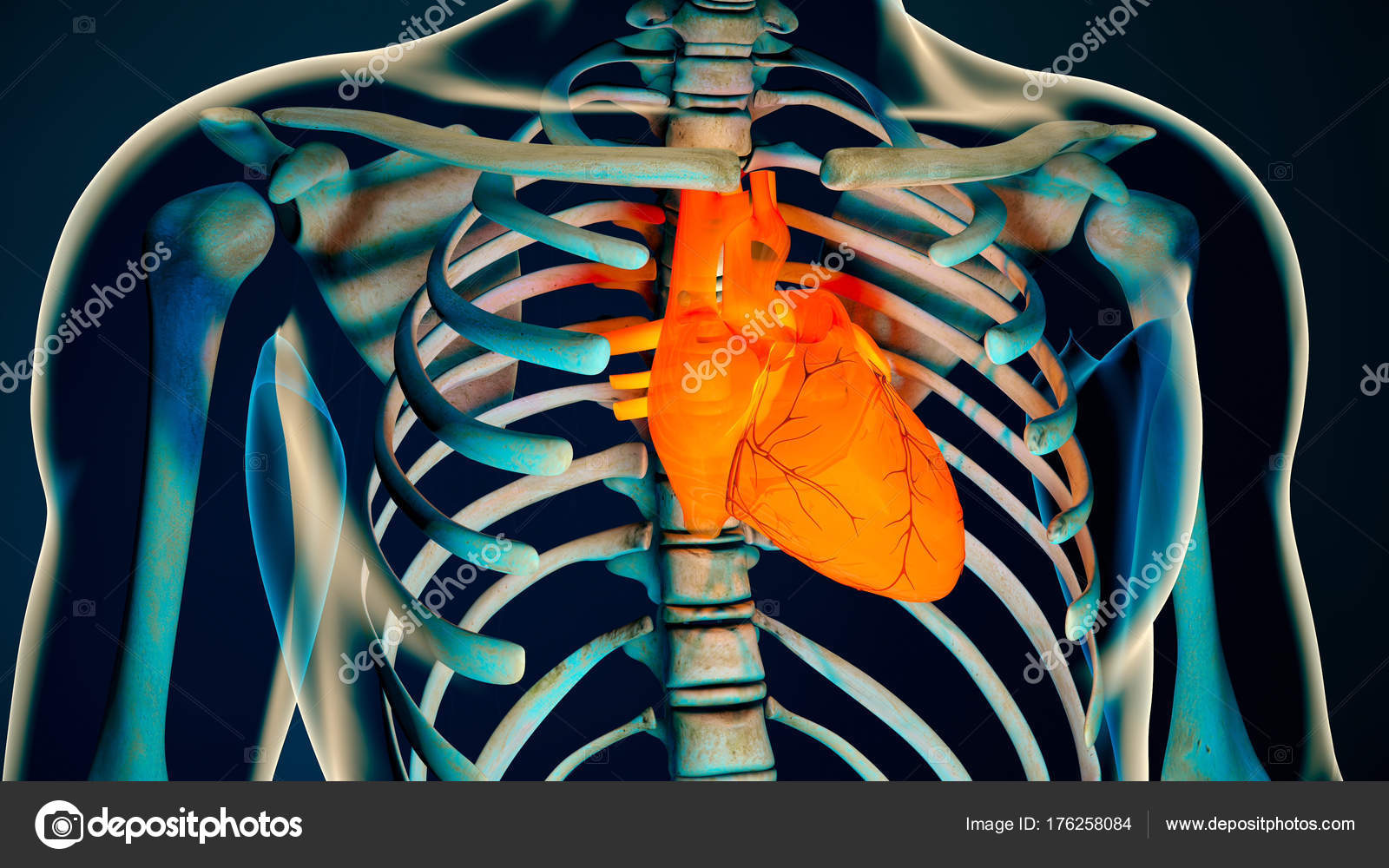 Human Body Transparent Heart Modern Anatomical Concept — Stock Photo ...