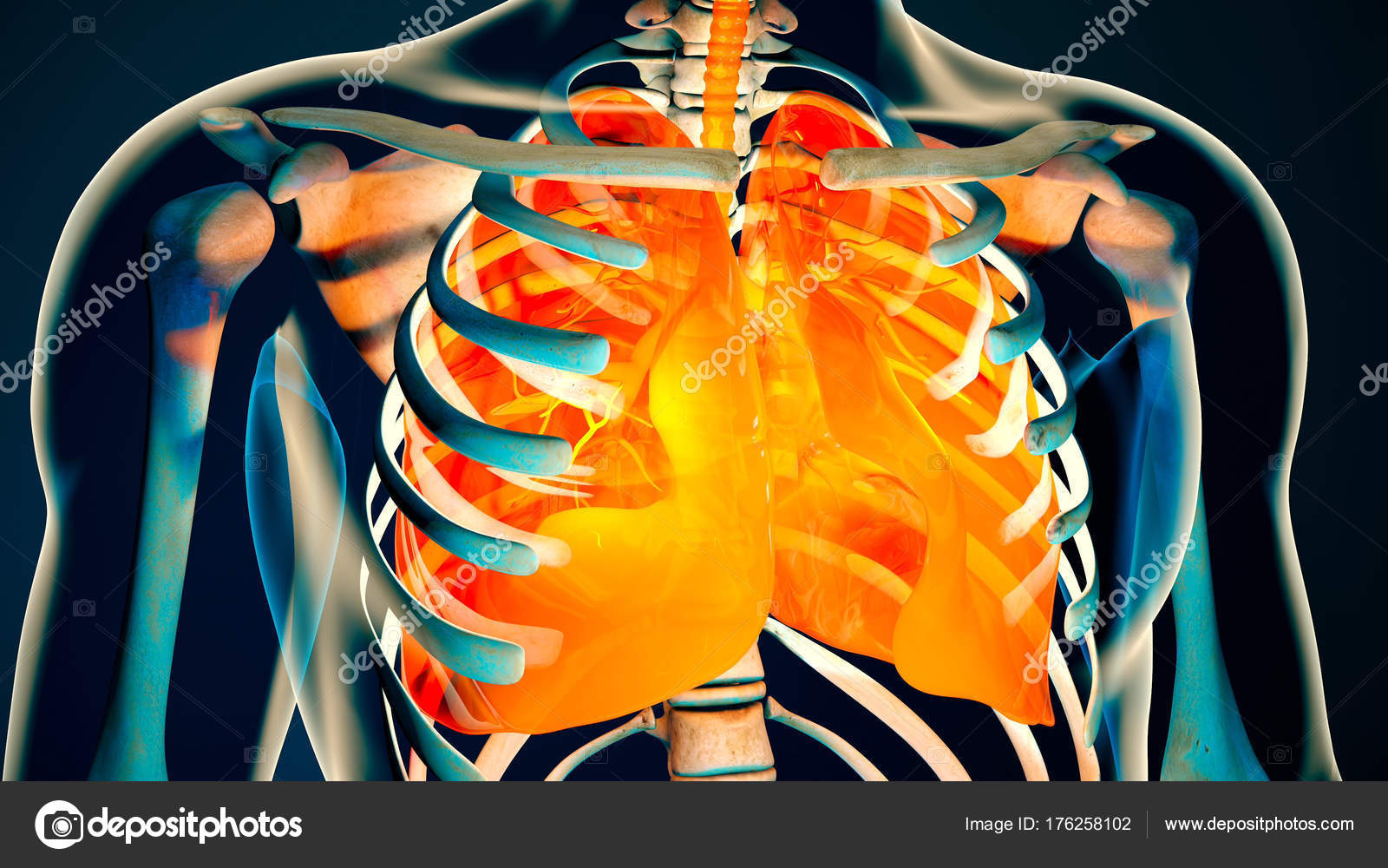 Human Body Transparent Throax Lung System Modern Anatomical Stock