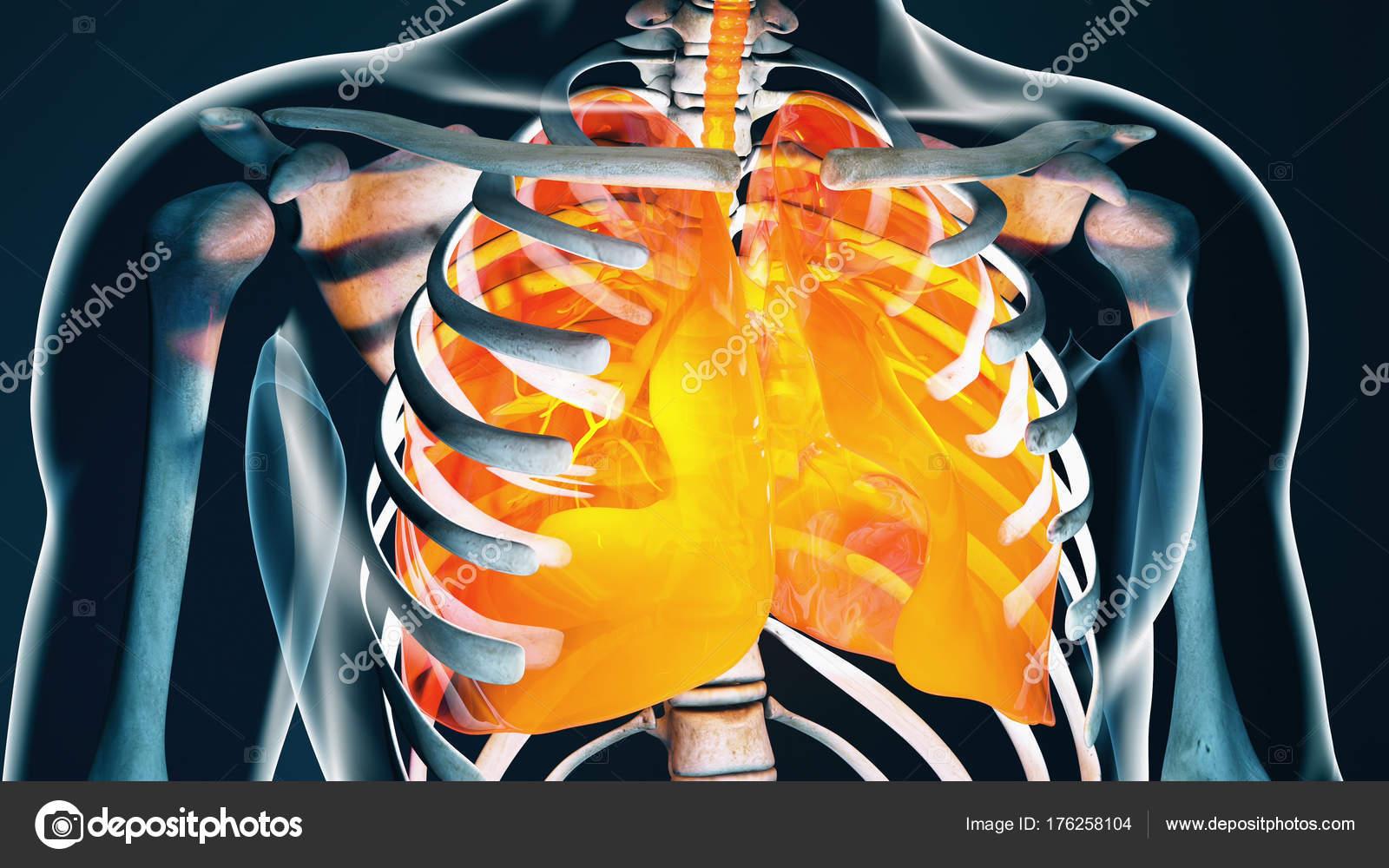 Menschlichen Körper Transparent Throax Lunge System moderne ...