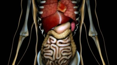 Healthy Internal Organs in a Transparent Human Body Anatomical C