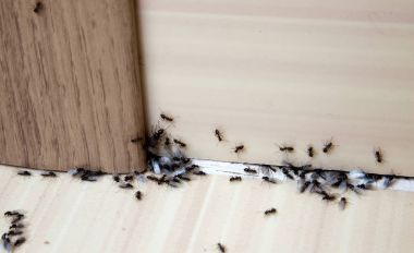 Ants in the house