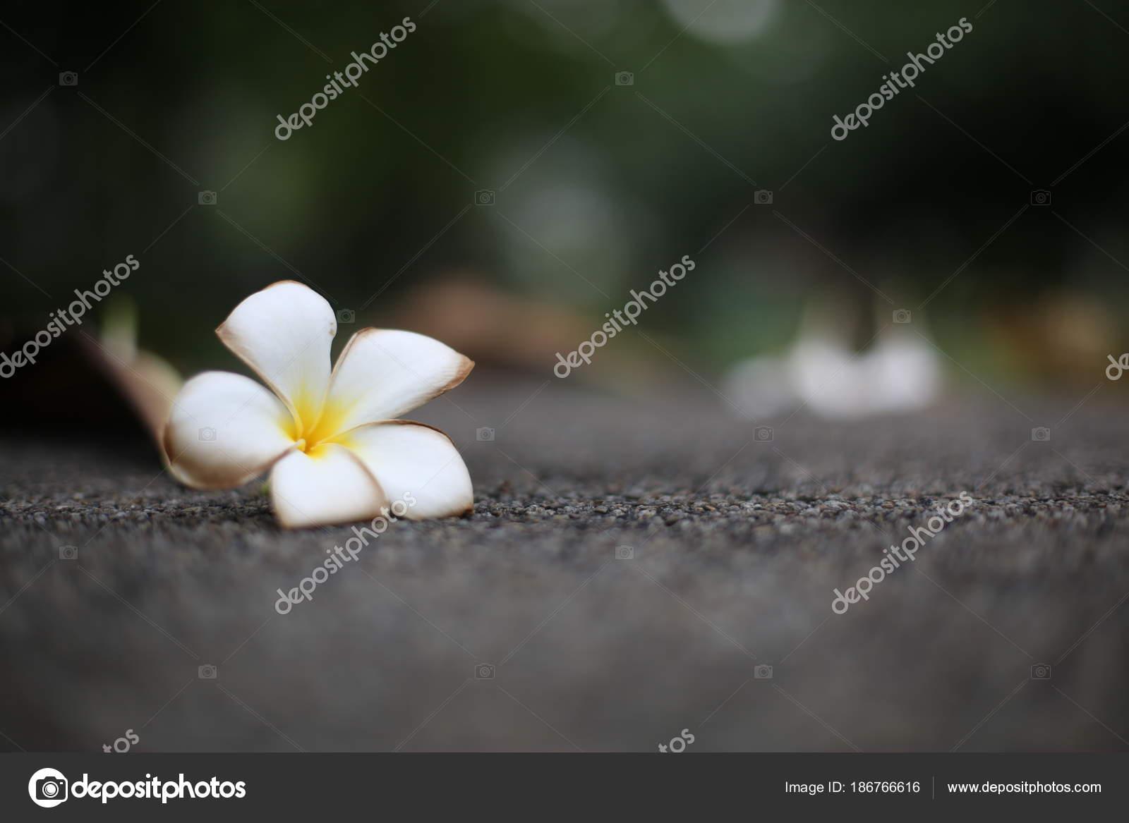 Fleur Frangipanier Fleur Tropicale Exotique Blanche Sur Pierre Grise