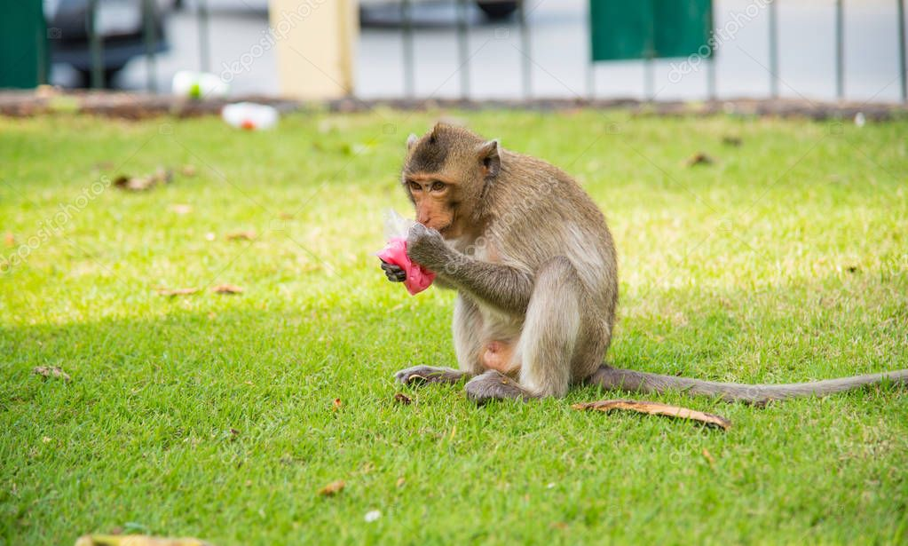 Family of Macaca fascicularis (Long-tailed macaque, Crab-eating