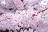 krásy rozkvetlou třešní v Japonsku