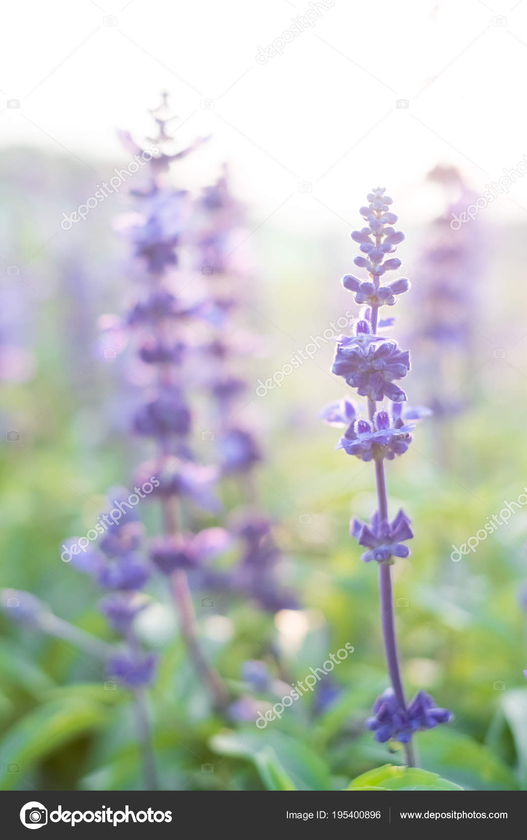 Close beautiful lavender flowers japan stock photo ryanking999 close beautiful lavender flowers japan stock photo izmirmasajfo