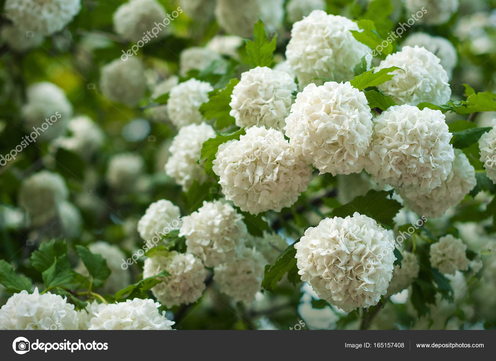 Chinese snowball viburnum flower heads are snowy delicate caves of blooming of beautiful white flowers in the summer garden photo by kuzmenkoviktoriia mightylinksfo