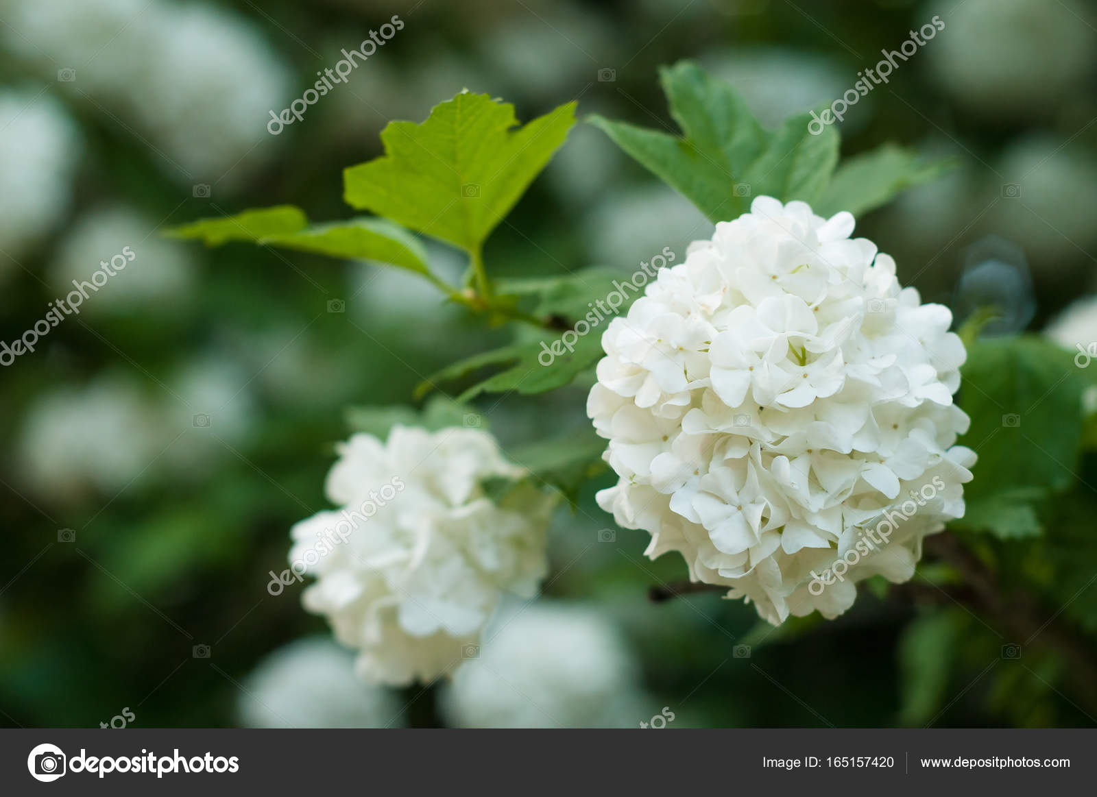 Chinese Snowball Viburnum Flower Heads Are Snowy Delicate Caves Of