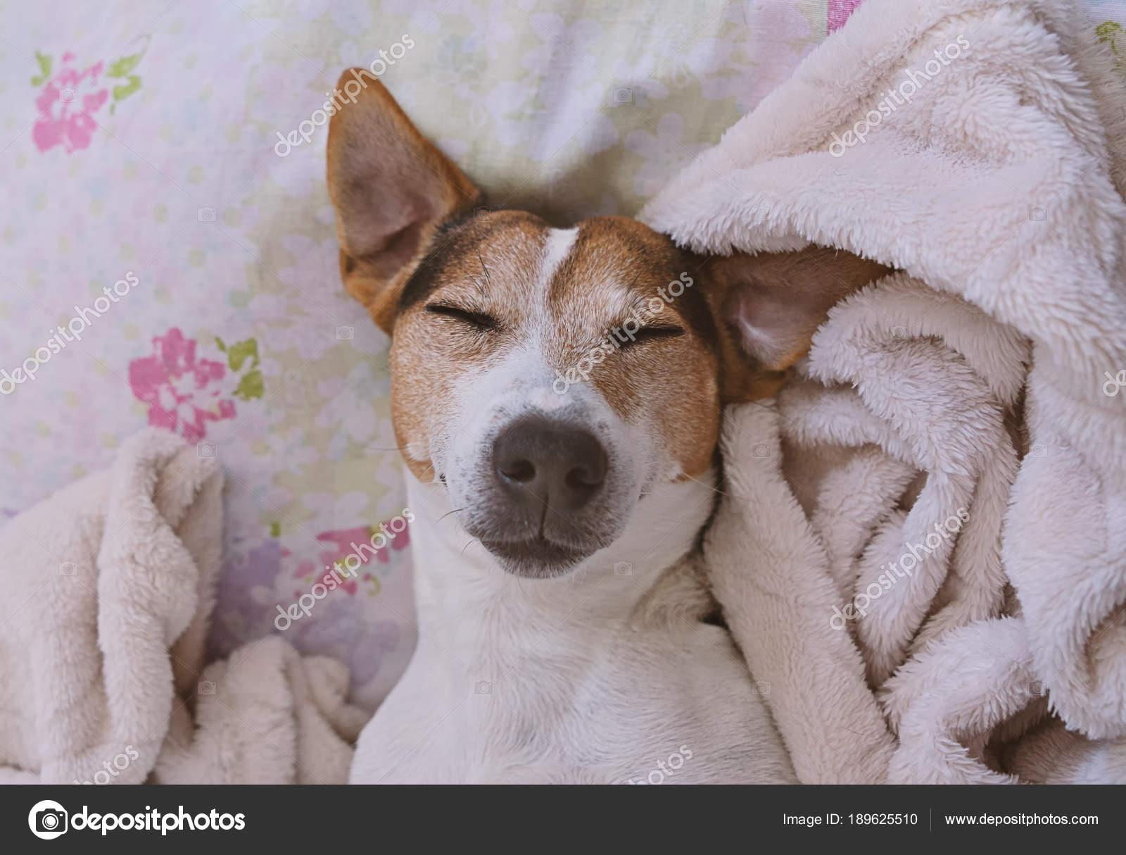 Sleepy Jack Russel Terrier In Coperta Foto Stock Nunochka 189625510