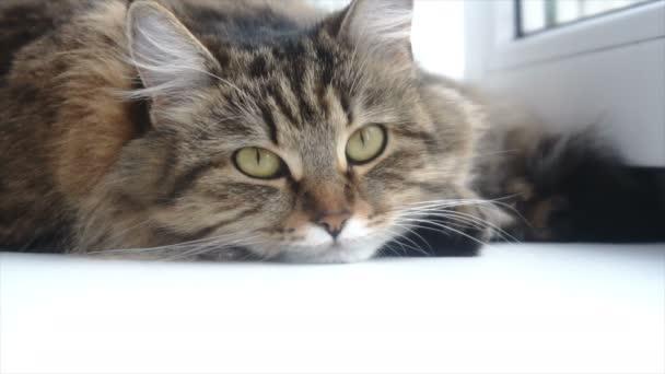 krásná šedá kočka leží na bílé okenní parapet