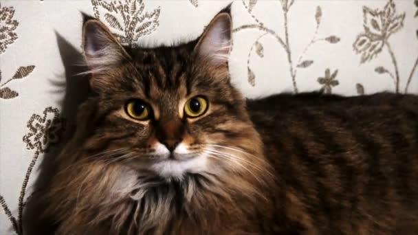 portré egy gyönyörű szürke macska