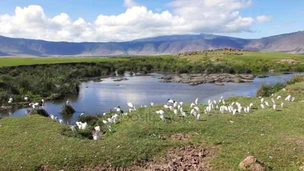 Jezera v národním parku Ngorongoro kráter s hrochy v akci vzdálenost a vítr vytváří vlnky a dobytka volavky a ibis posvátný v forground