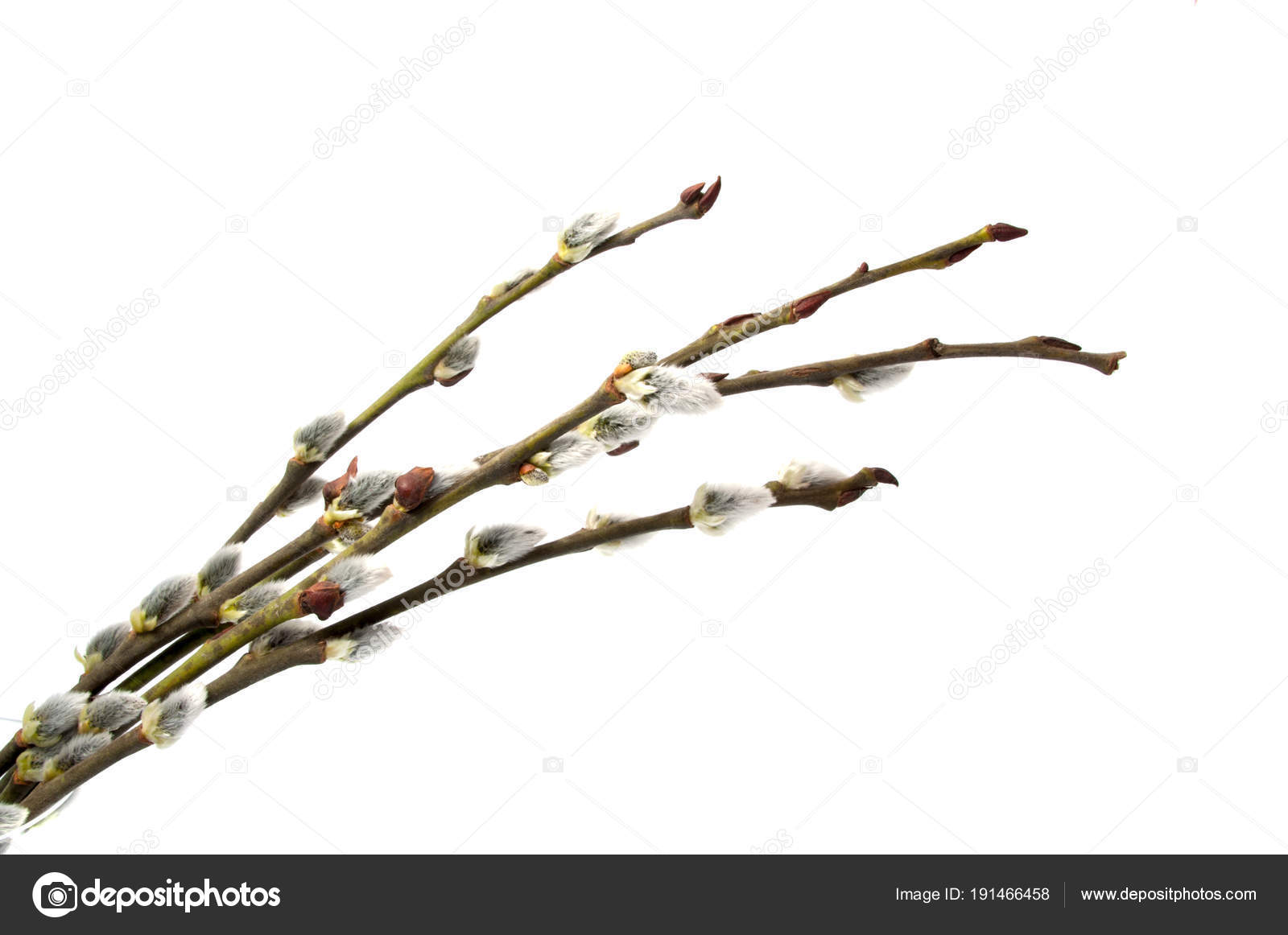 Pussy Branch Isolated White — Stock Photo