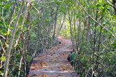 Dřevěný chodník v mangrovových lesů. Přírodní pozadí