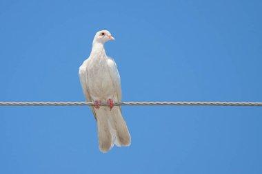 White Dove on a Wire