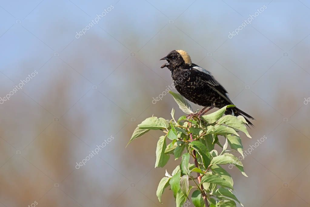Bobolink in a Leafy Tree Top