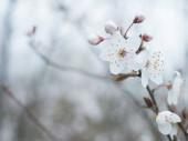 zblízka krásné kvetoucí bílé jablko květ pupen větvička, selektivní zaměření, přírodní pozadí bokeh, květinový jarní rám, kopírovací prostor