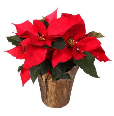 Red poinsettia flower isolated on white. Christmas Flowers