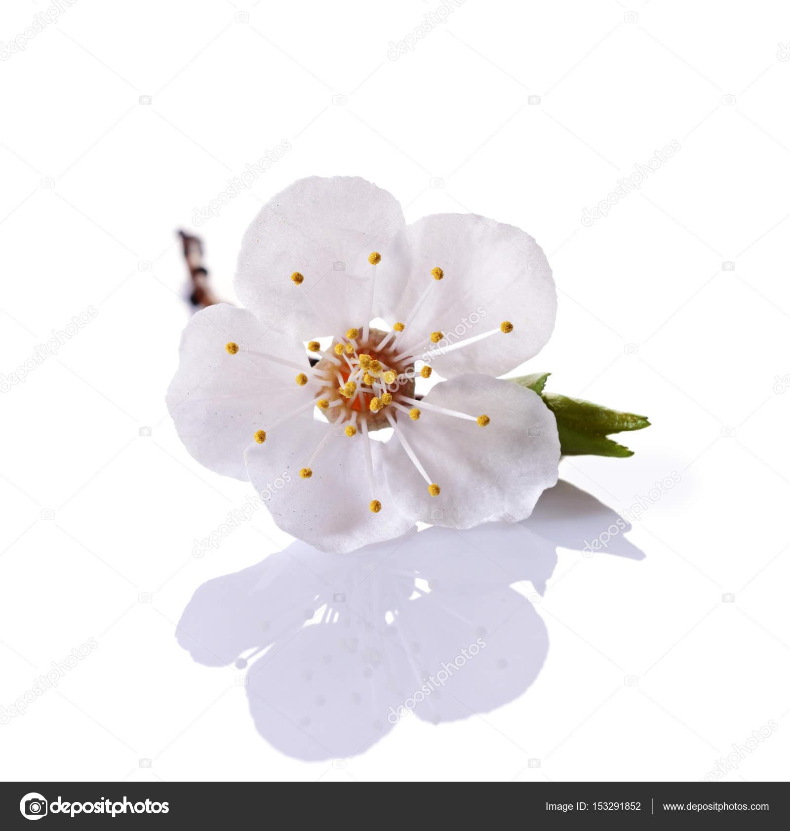 Branche De Fleur De Cerisier De Printemps Avec Fleur Blanche Simple