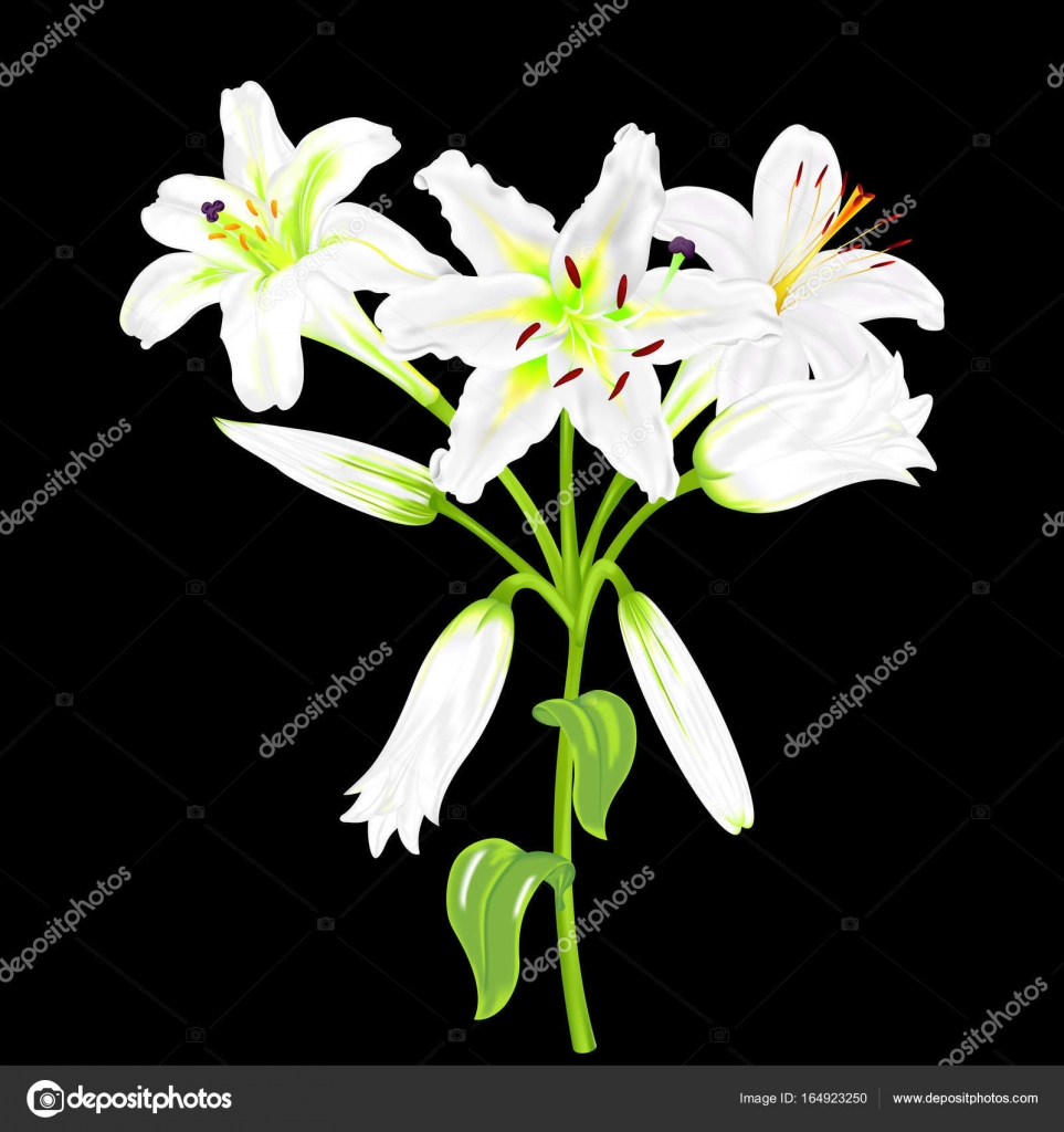 Flowers of white lilies on a black background stock vector flowers of white lilies on a black background stock vector izmirmasajfo