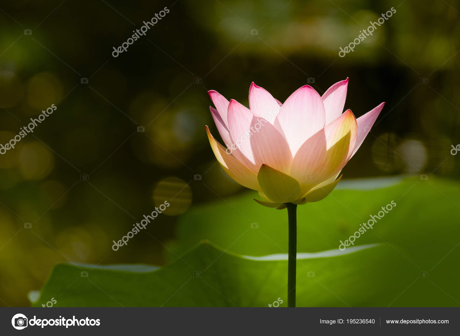 Thin Petals Of A Lotus Flower Stock Photo Klanneke 195236540